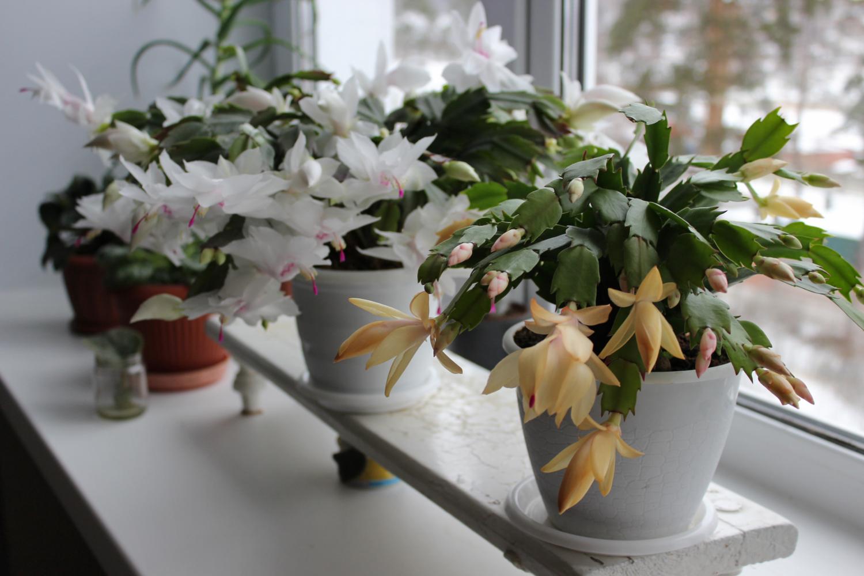 Цветущие среди зимы кактусы