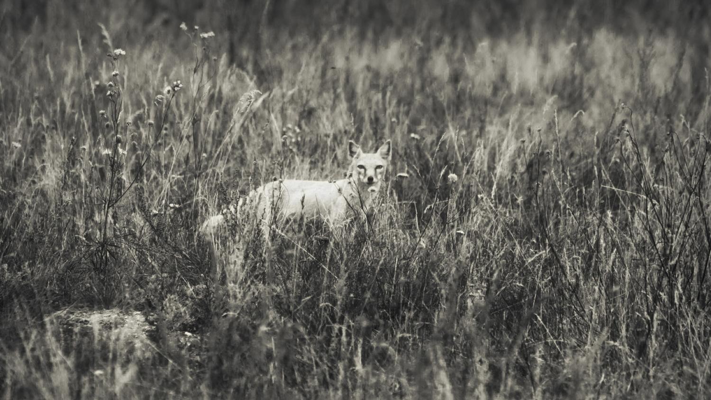 стапная лисица