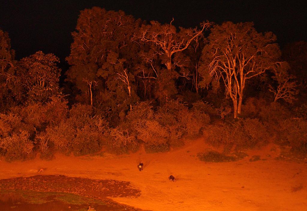 Ночной водопой антилоп
