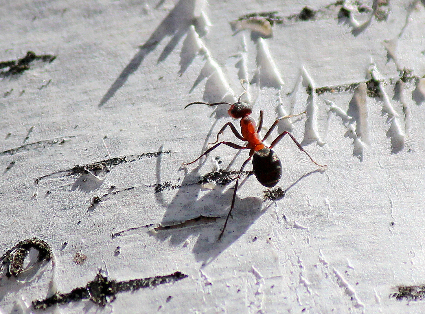 Береста, а на ней - муравей.