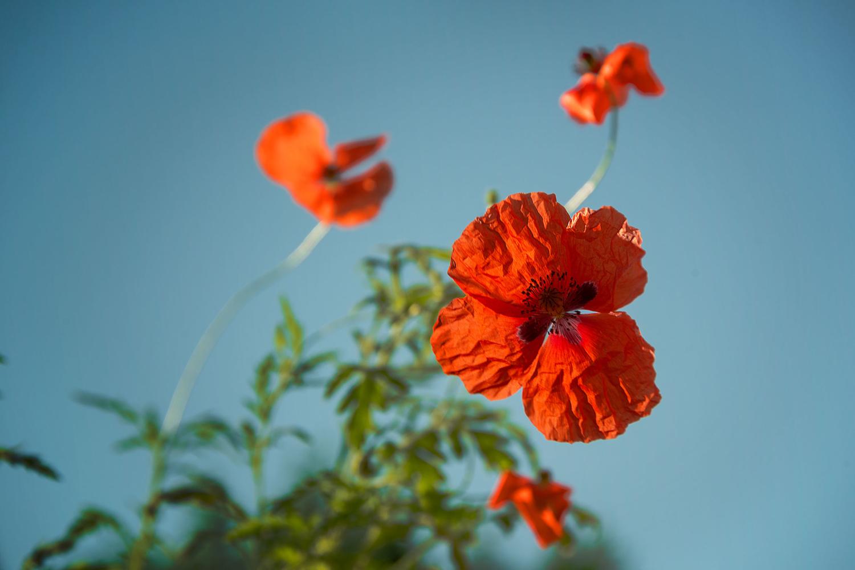 Маковое цветение