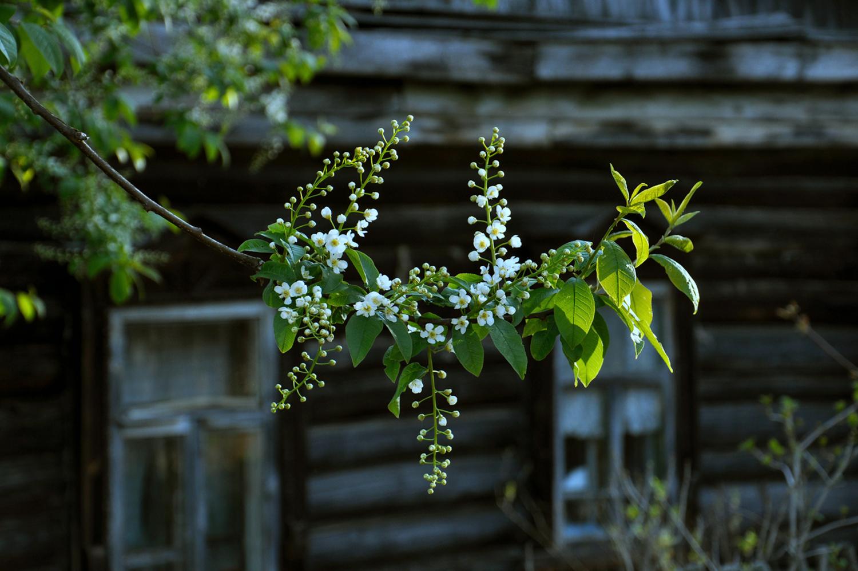 Черёмуха душистая весною расцвела