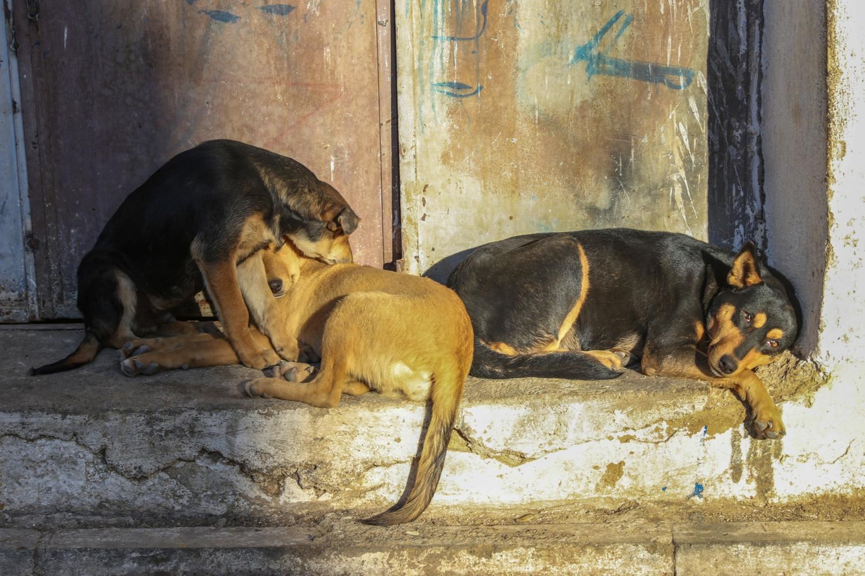 бродячие собаки