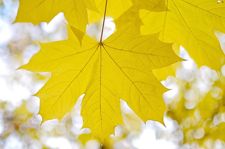 кленовый лист, кленовый лист...