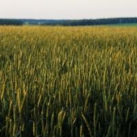 Поле пшеничное...