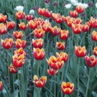 Красно-жёлтые тюльпаны