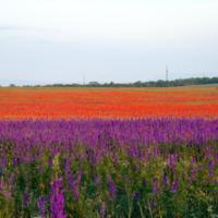 Красочное поле цветов