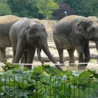 Слони в зоопарке Кельна