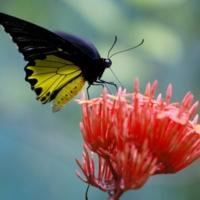 бабочка-парусник из малазии