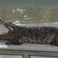 Поцелуй с Крокодилом