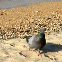 На морском песочке голубок гулял