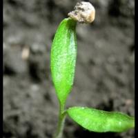Зелененький росточек =)