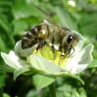 Пчёлка и клубничный цветок