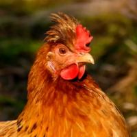 Я не курица ,я дама !