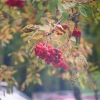 Рябина, листья, пленка.
