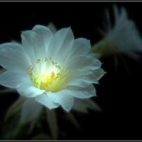 Эхинопсис - почти кактус