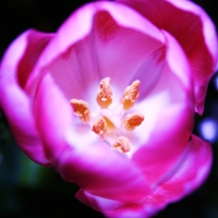 Сердце тюльпана.