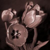 Тюльпаны в сепии