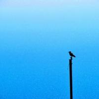 О чём мечтает ворона у моря ?