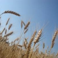 пшеница-золотится