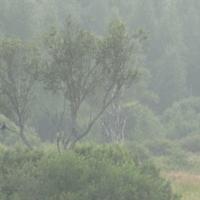Ворона в тумане...