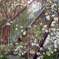 В цветущих яблонях