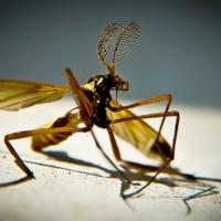 Танец комара