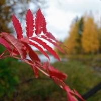 алый листочек