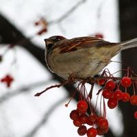 воробей-птица умный