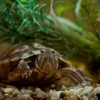 Черепаха модельной внешности)