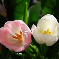 нежность тюльпанов...