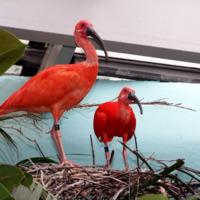 Красные ибисы в гнезде