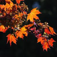 Ветка цветущего клёна
