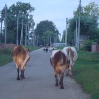 Крепость из коров)))
