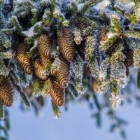 Лесные шишки