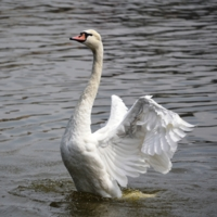 лебединый танец