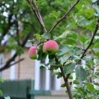 Парочка яблок!