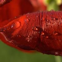 Капли на тюльпане