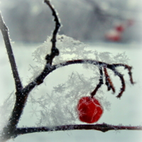 Рябинка зимняя