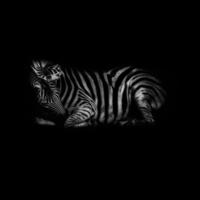 Сон зебры