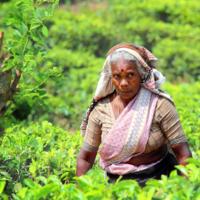 Сборщица чайного листа.