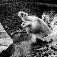 Купание белого медведя