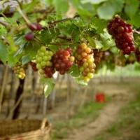 Виноградник в декабре