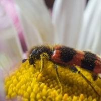 На цветке маргаритки