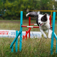 Собачий конкур