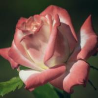 """""""Портрет"""" розы"""