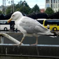 Портрет чайки