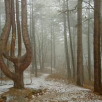 Музыка леса. Сосна-лира