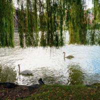 Лебеди Любляны.