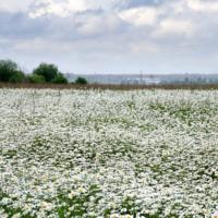 Наш ковёр цветочная поляна